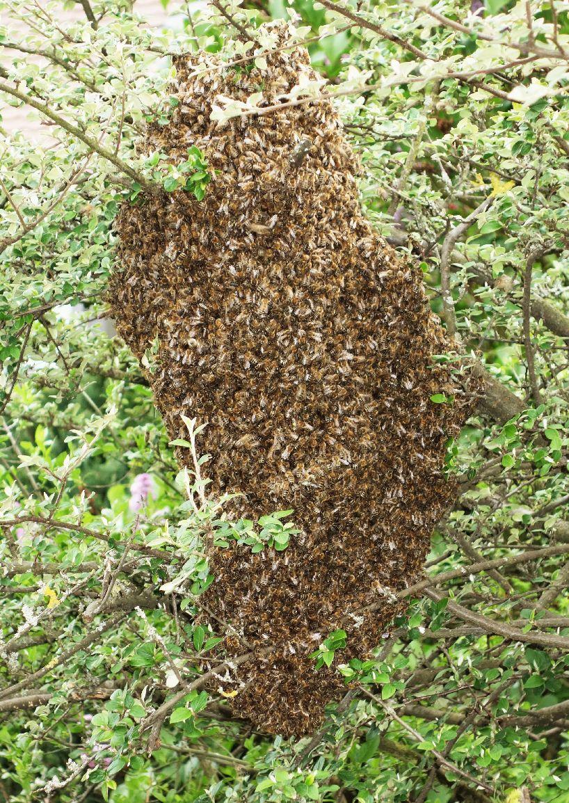 Bienen - Schwarmtraube