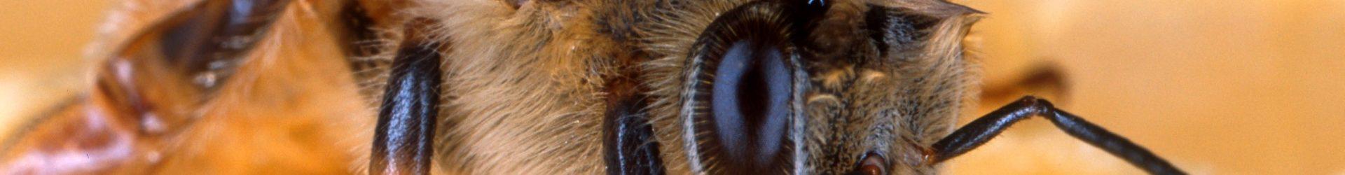 EFSA: Bienen in Gefahr durch Neonicotinoide | Wissen & Umwelt | DW | 28.02.2018