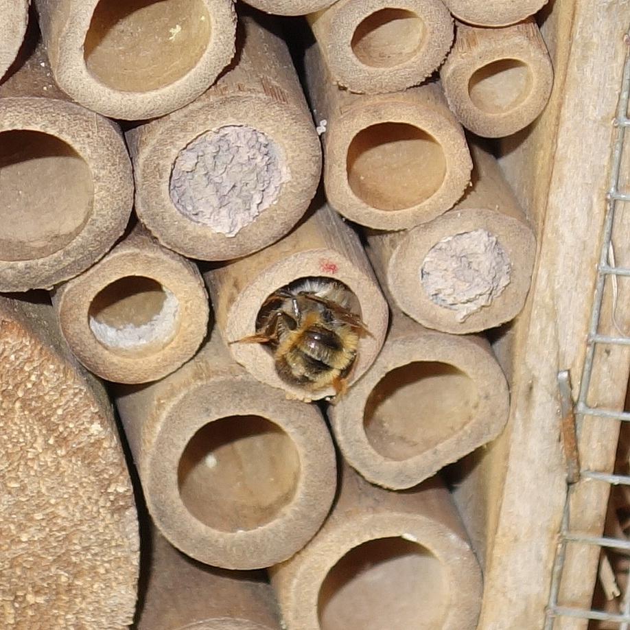 Mauerbienen als Untermieter; Stand 04.05.2018 13:55 Uhr © Thomas Petschinka