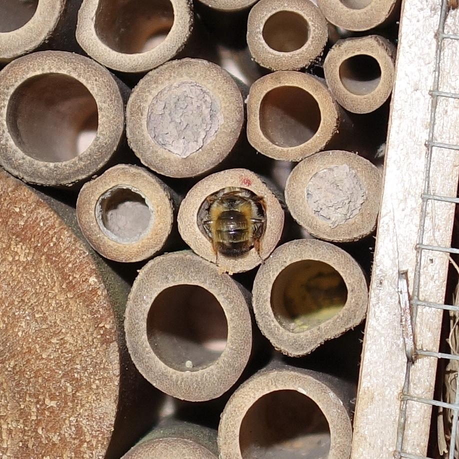 Mauerbienen als Untermieter; Stand 04.05.2018 14:01 Uhr © Thomas Petschinka