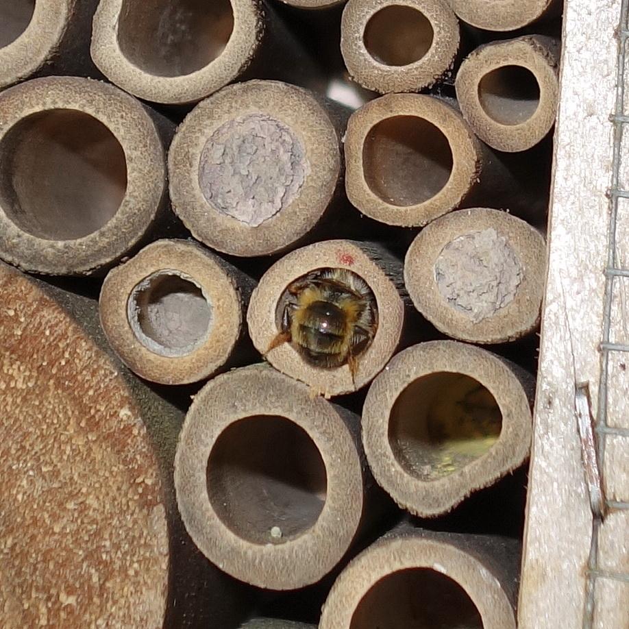 Mauerbienen als Untermieter; Stand 04.05.2018 14:02 Uhr © Thomas Petschinka