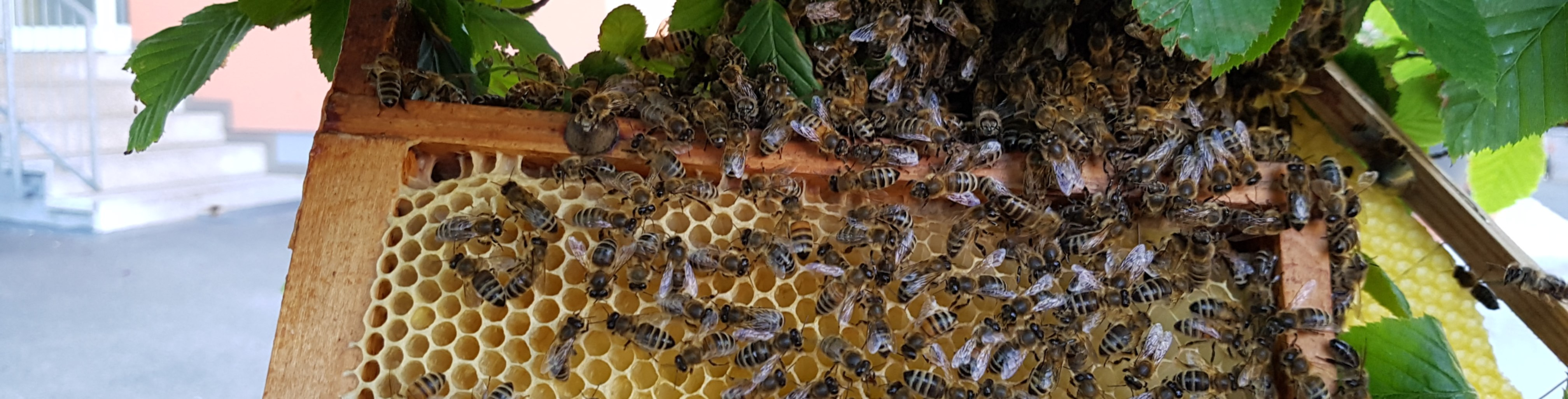 Bienenschwarm in Nürnberg-Schweinau - Beitragsbild