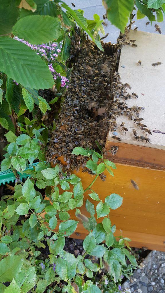 Bienenschwarm in Nürnberg-Schweinau