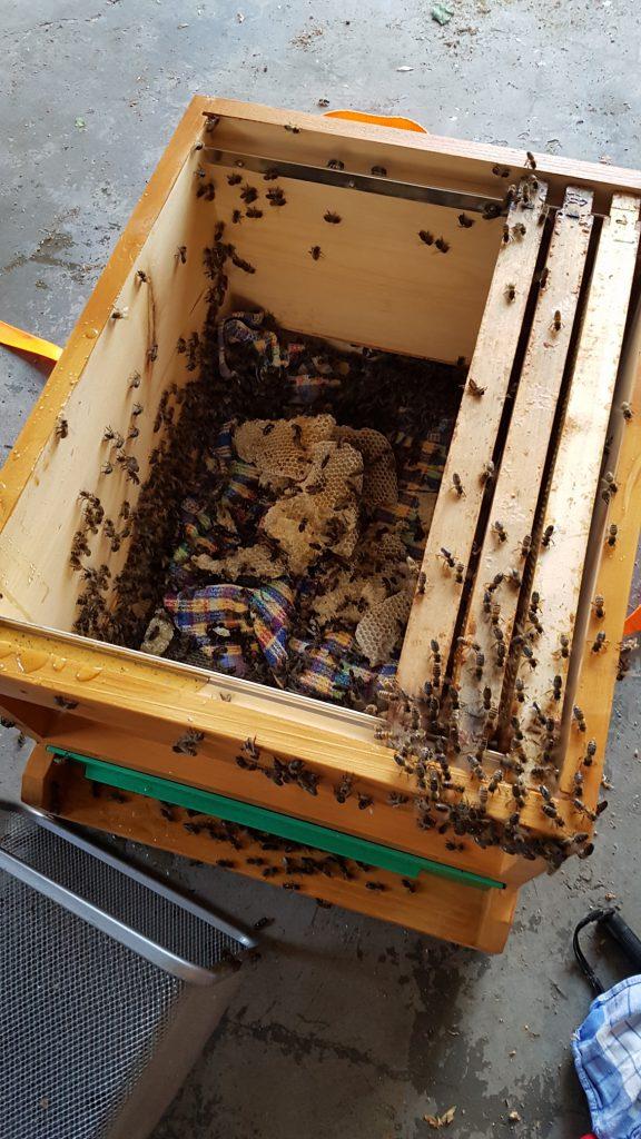 Ein Teil der Bienen scheint sich im neuen Zuhause schon wohl zu fühlen.....   © Thomas Petschinka