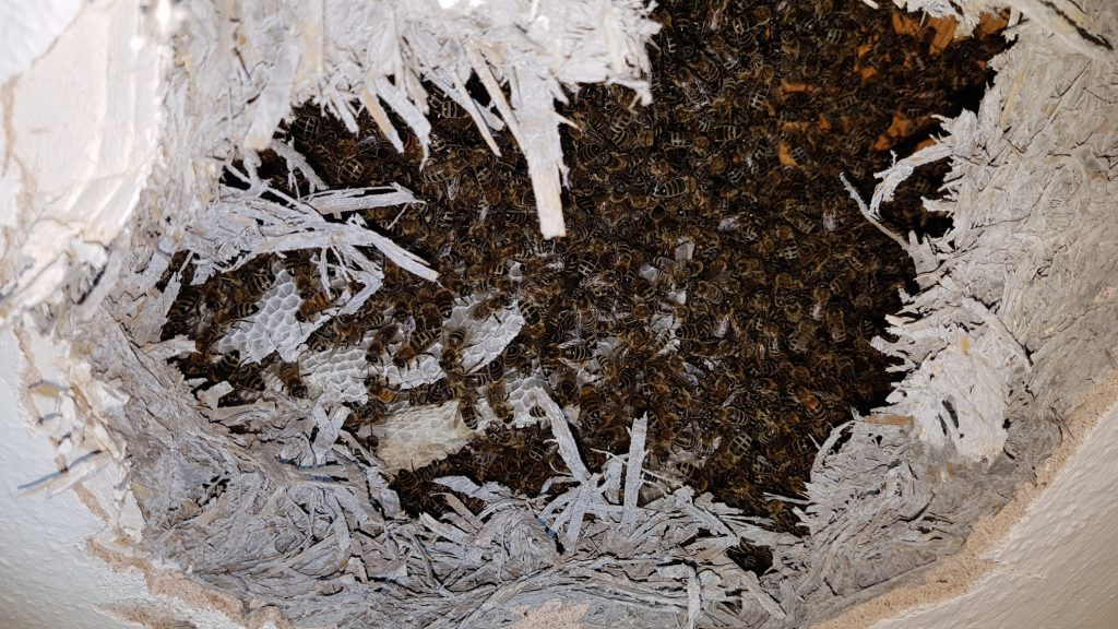 Ein mittelgroßes Bienen-Volk mit bereits ausgebautem Wabenwerk   © Thomas Petschinka