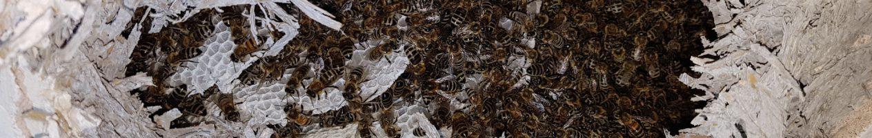 Bienenschwarm aus der Zwischendecke einer Garage geborgen