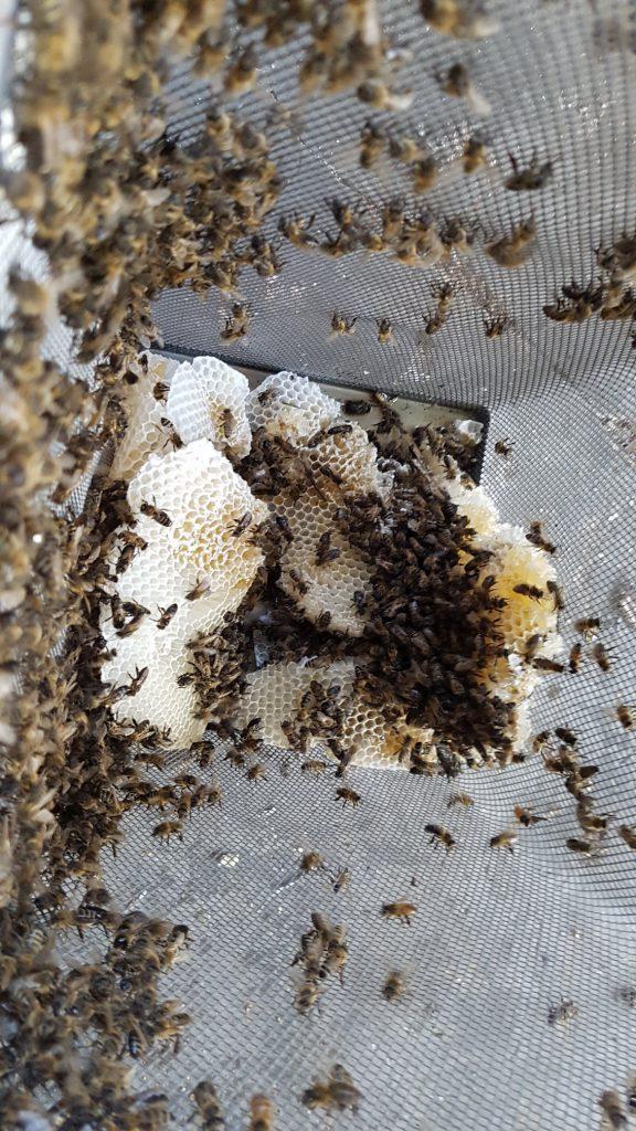 Die ersten Bienen und das Wabenwerk in der Auffangkiste   © Thomas Petschinka