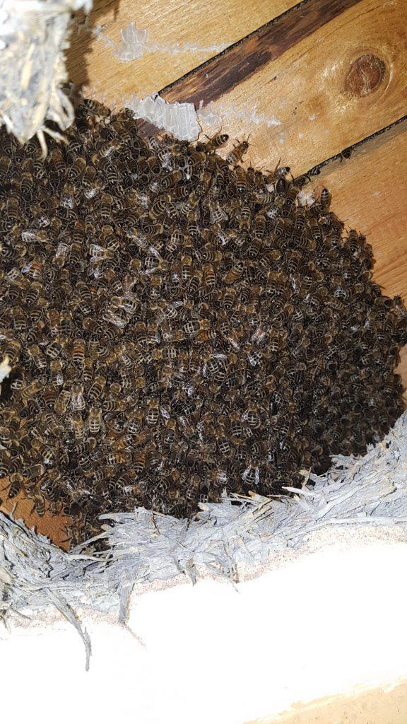 Ein kompakter und sehr ruhiger Bienenschwarm. Und die Königin sitzt höchstwahrscheinlich mitten drin!   © Thomas Petschinka